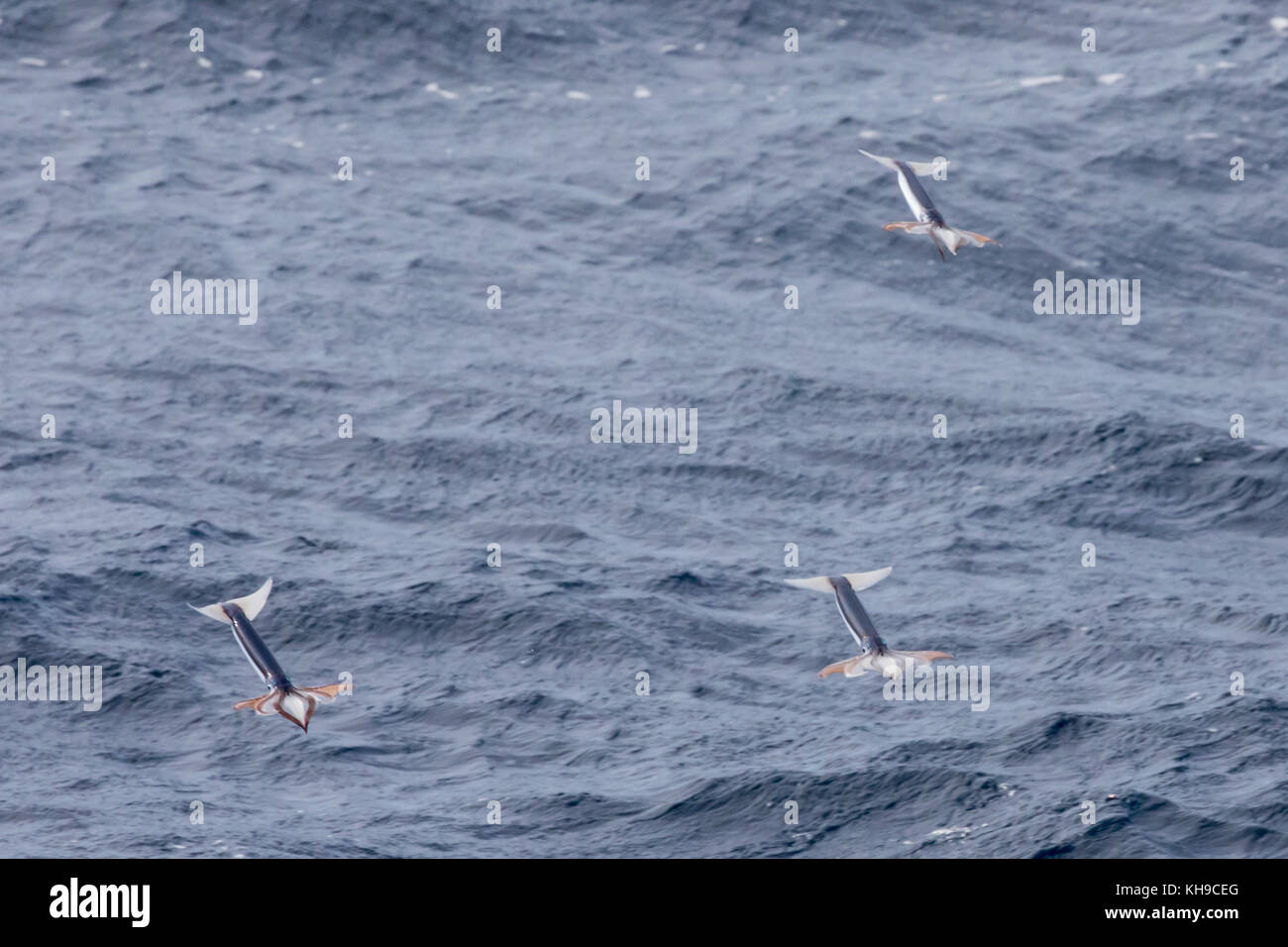 Little known flying squid take off from the water by jet propulsion to escape predation in the middle of the Atlantic - Stock Image