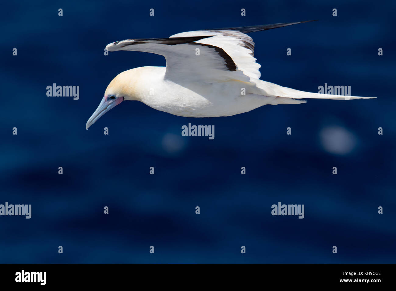 Red-footed booby watching for flying fish and following the ship National Geographic Orion in the Atlantic Ocean Stock Photo