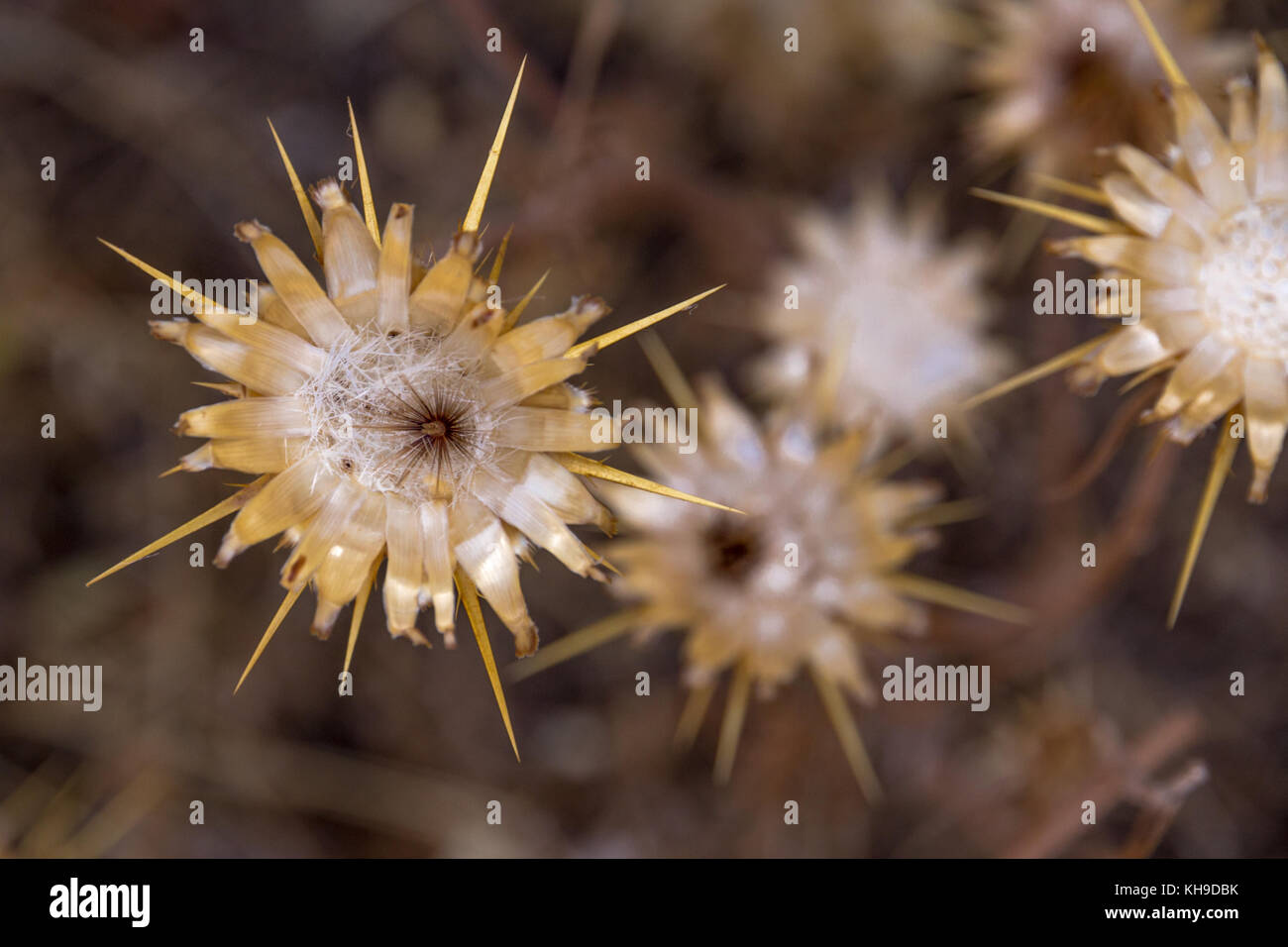 Dried and delicate wild-flowers offer a muted palette of neutral tones.  The delicate white fibres at the centre - Stock Image