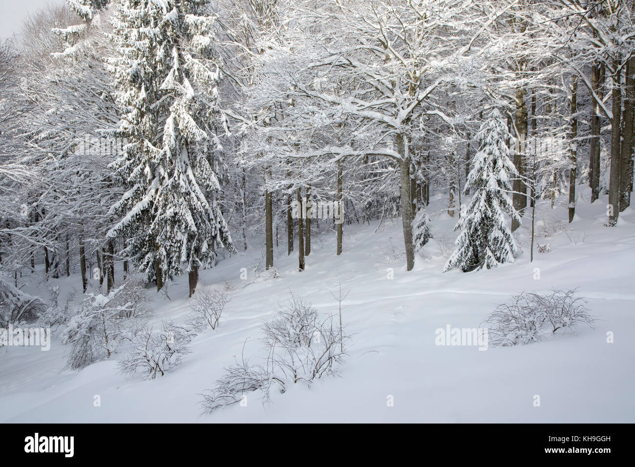 Branches of beech trees (Fagus sylvatica) and spruces laden with fresh snow after snowfall in winter Stock Photo