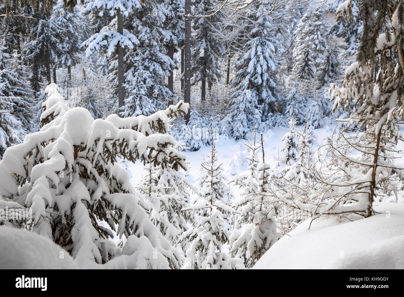Branches of spruce trees laden with snow during snow shower in mixed forest in winter - Stock Image