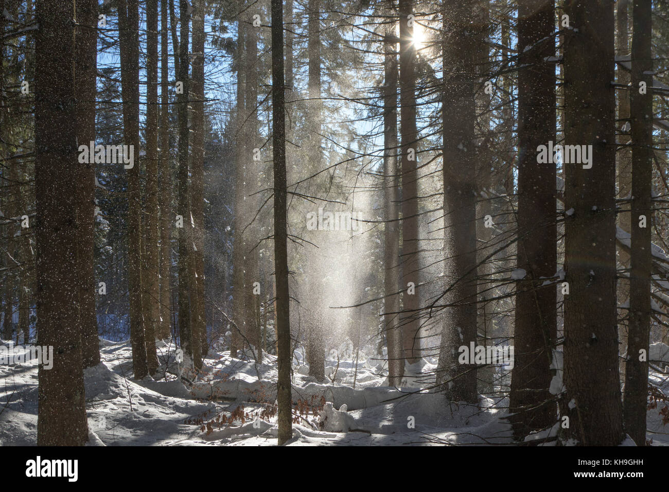 Snow falling from branches of spruce trees in coniferous forest blown away by gust of wind in winter - Stock Image