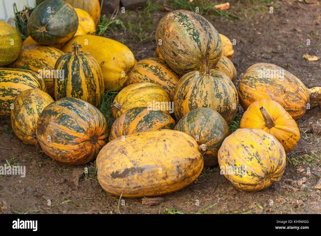 pumpkins stacked on the farm, Many piles of yellow pumpkins on the field Stock Photo