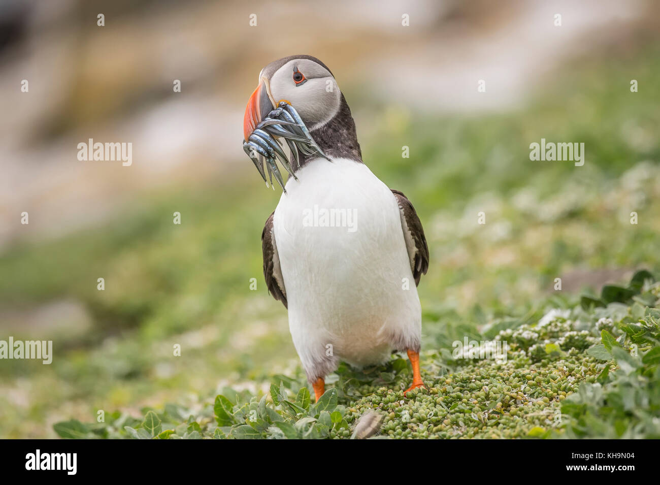 Puffin, Fratercula arctica, a with a beak full of Sand eels, close up on the farne islands in Nortumberland England Stock Photo