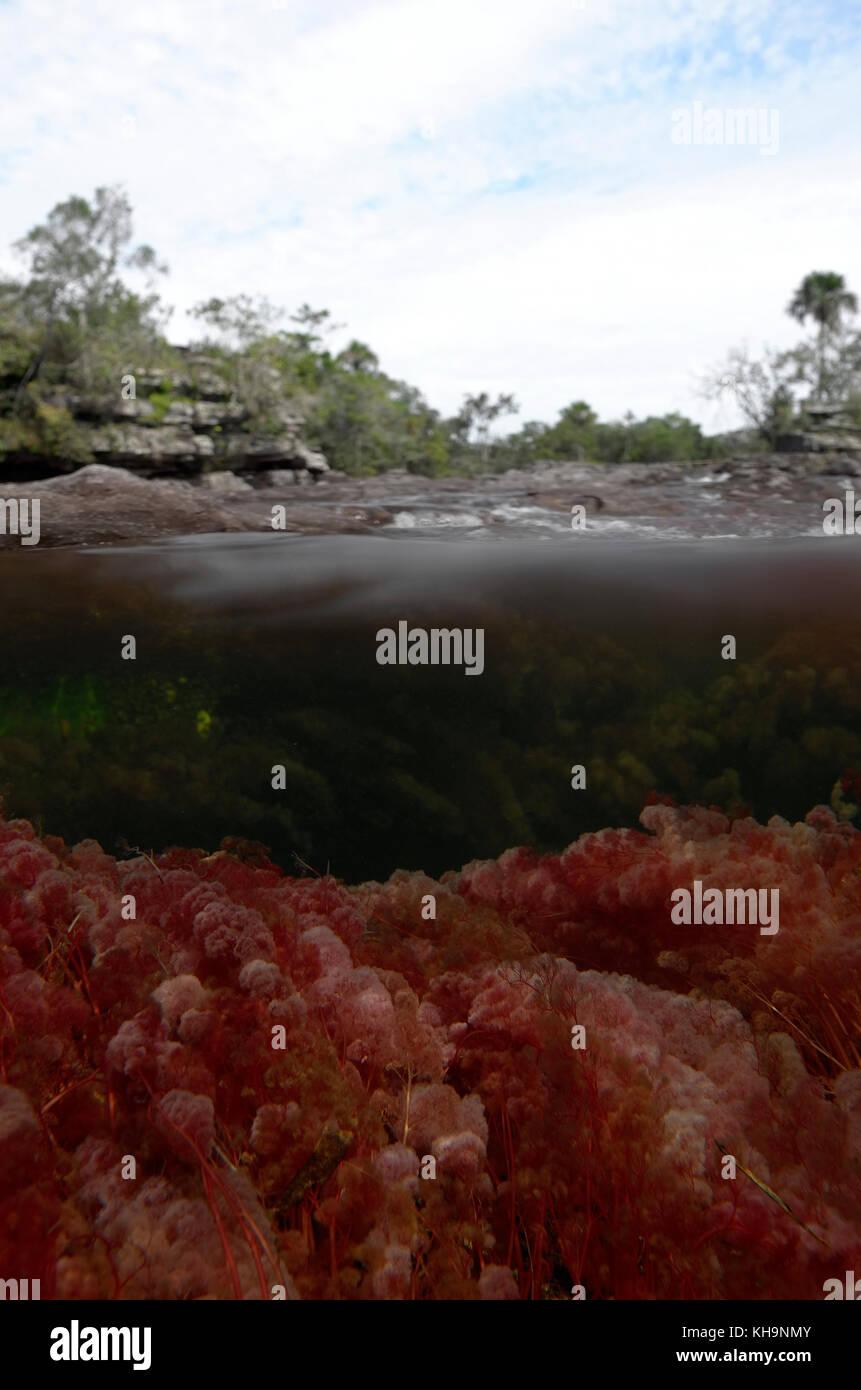 Macarenia clavigera in Cano Cristales - Stock Image