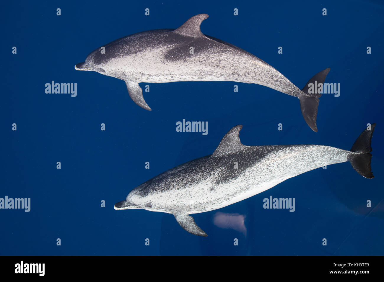 Atlantic spotted dolphins come to ride the bow of the National Geographic Orion in glassy clear water in the middle - Stock Image