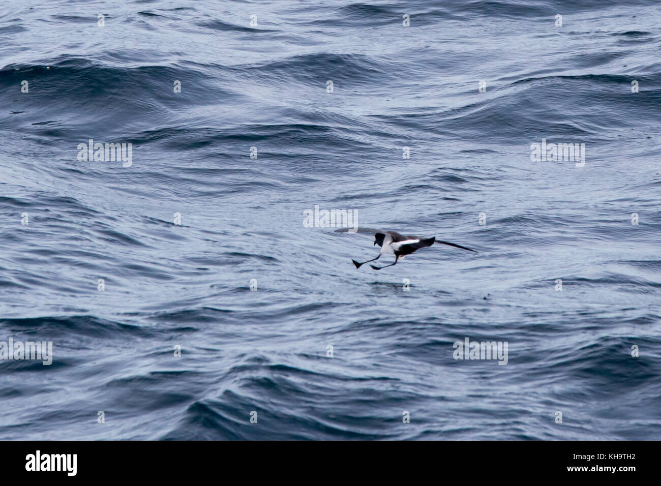 A black-bellied storm-petrel feeds over the open ocean in the middle of the Atlantic Ocean Stock Photo