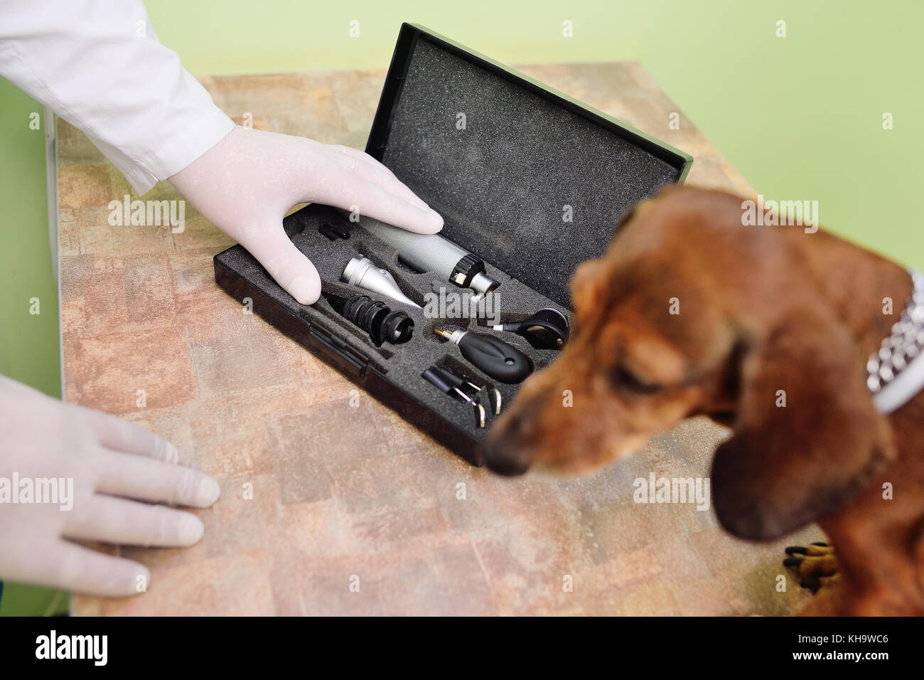 medical examination of dog dachshunds in a veterinary clinic - Stock Image