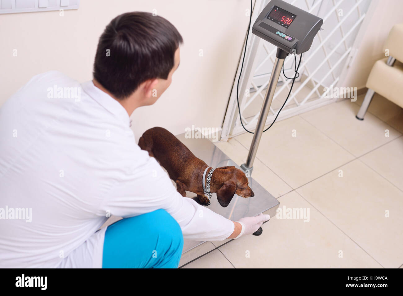 the vet weighs the dog - Stock Image