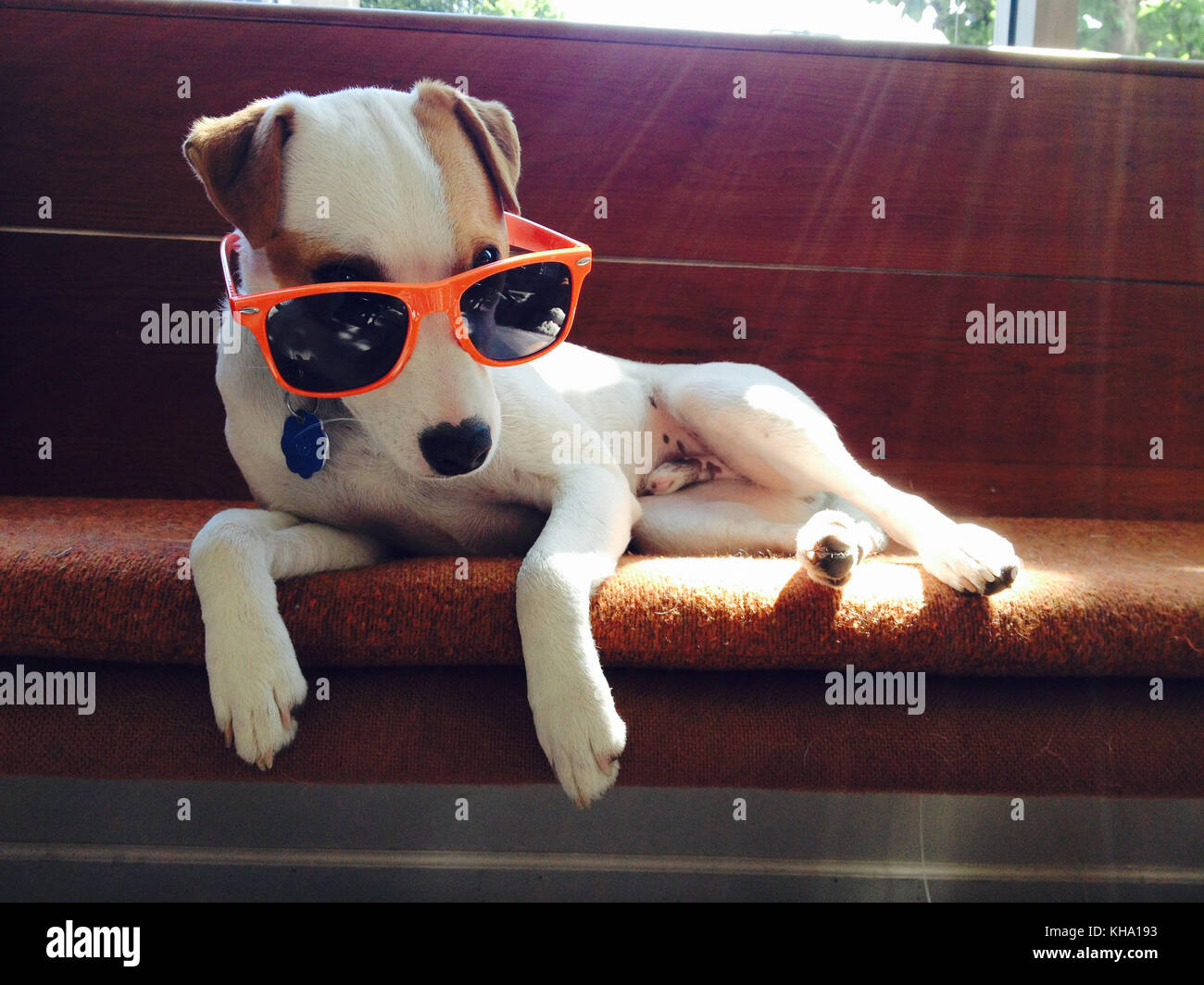 A small Jack Russel Terrier wears a sunglasses on couch Stock Photo