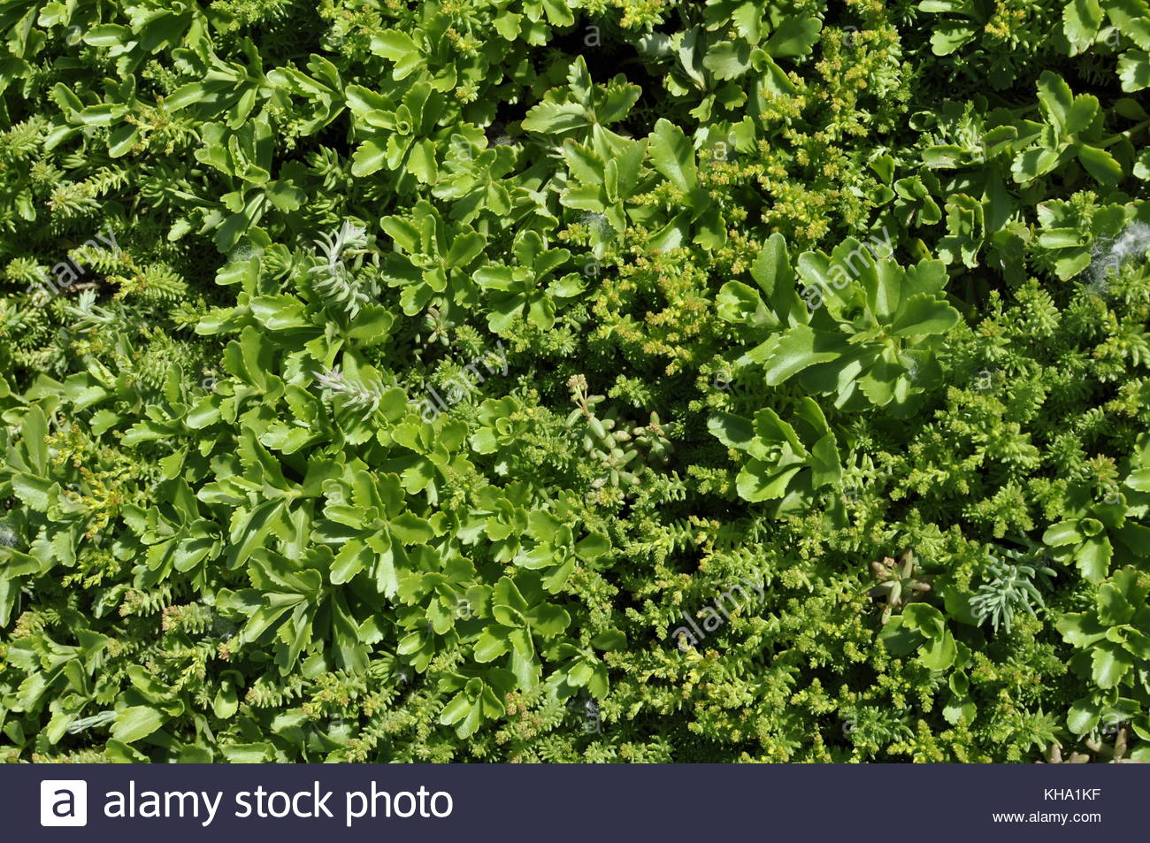 Sedums Stock Photos Amp Sedums Stock Images Alamy