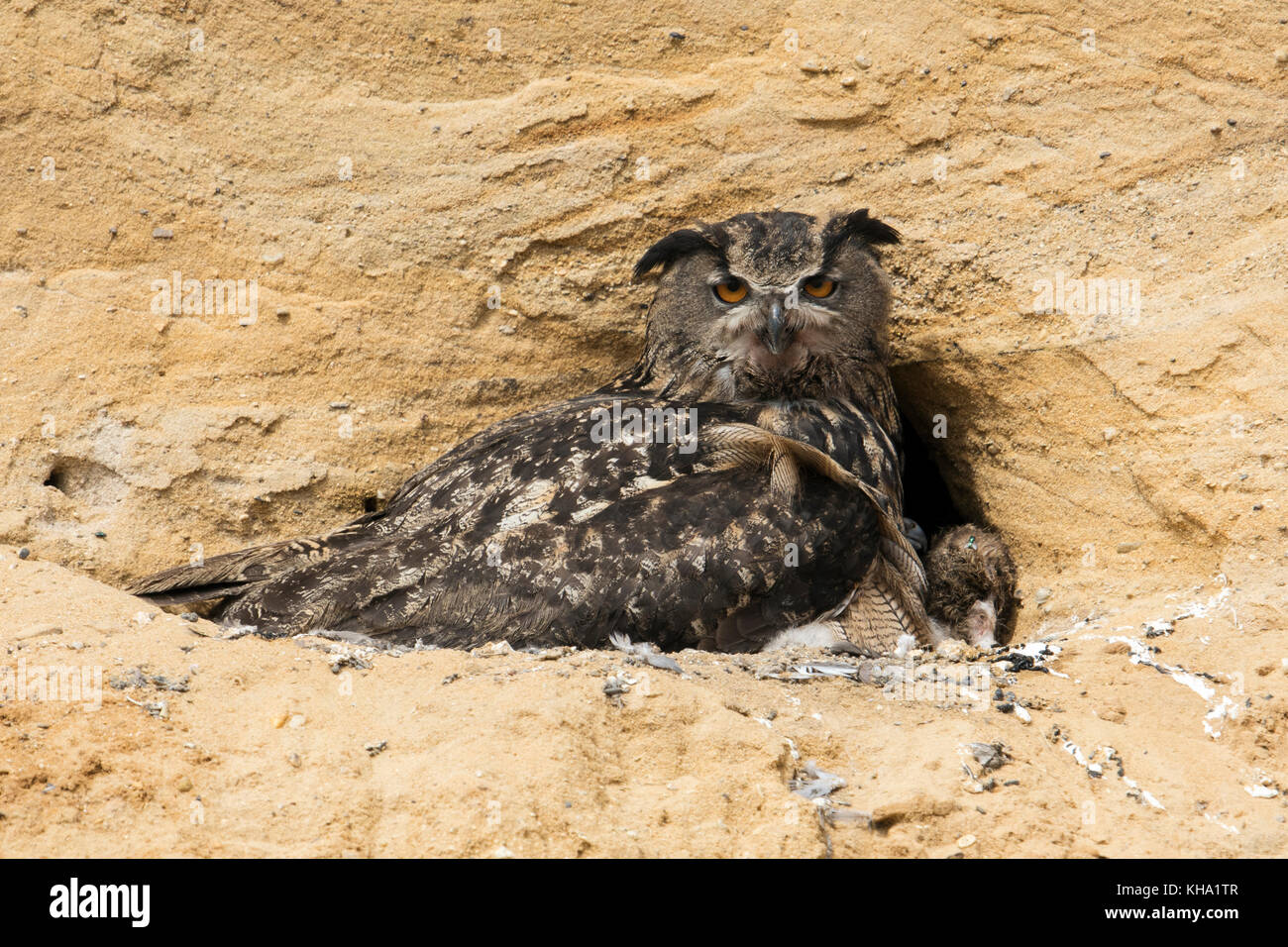Eurasian Eagle Owl ( Bubo bubo ) at its breeding site in a sand pit, adult hatching and gathering its chicks, wildlife, - Stock Image