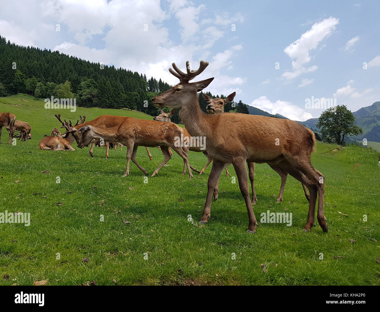 Rothirsch, Cervus elaphus, Rotwild Stock Photo
