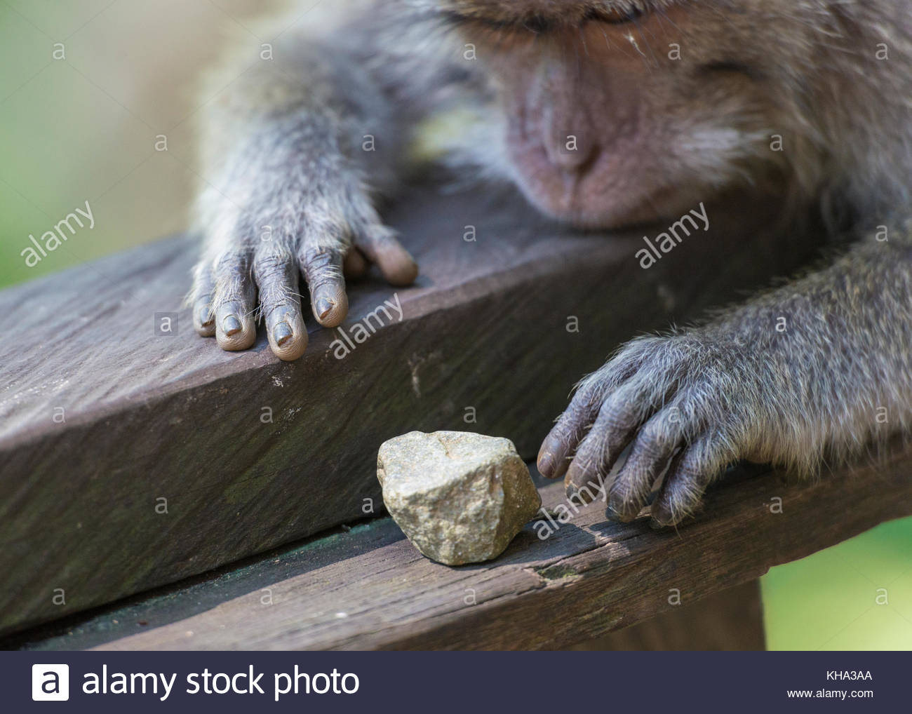Monkey (macaca fascicularis) playing with a rock in the Sacred Monkey Forest Sanctuary in Ubud, Bali, Indonesia. - Stock Image