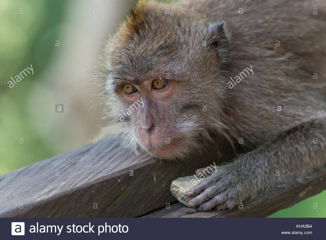 Sad monkey (macaca fascicularis) holding a rock in his hand in the Sacred Monkey Forest Sanctuary in Ubud, Bali, - Stock Image