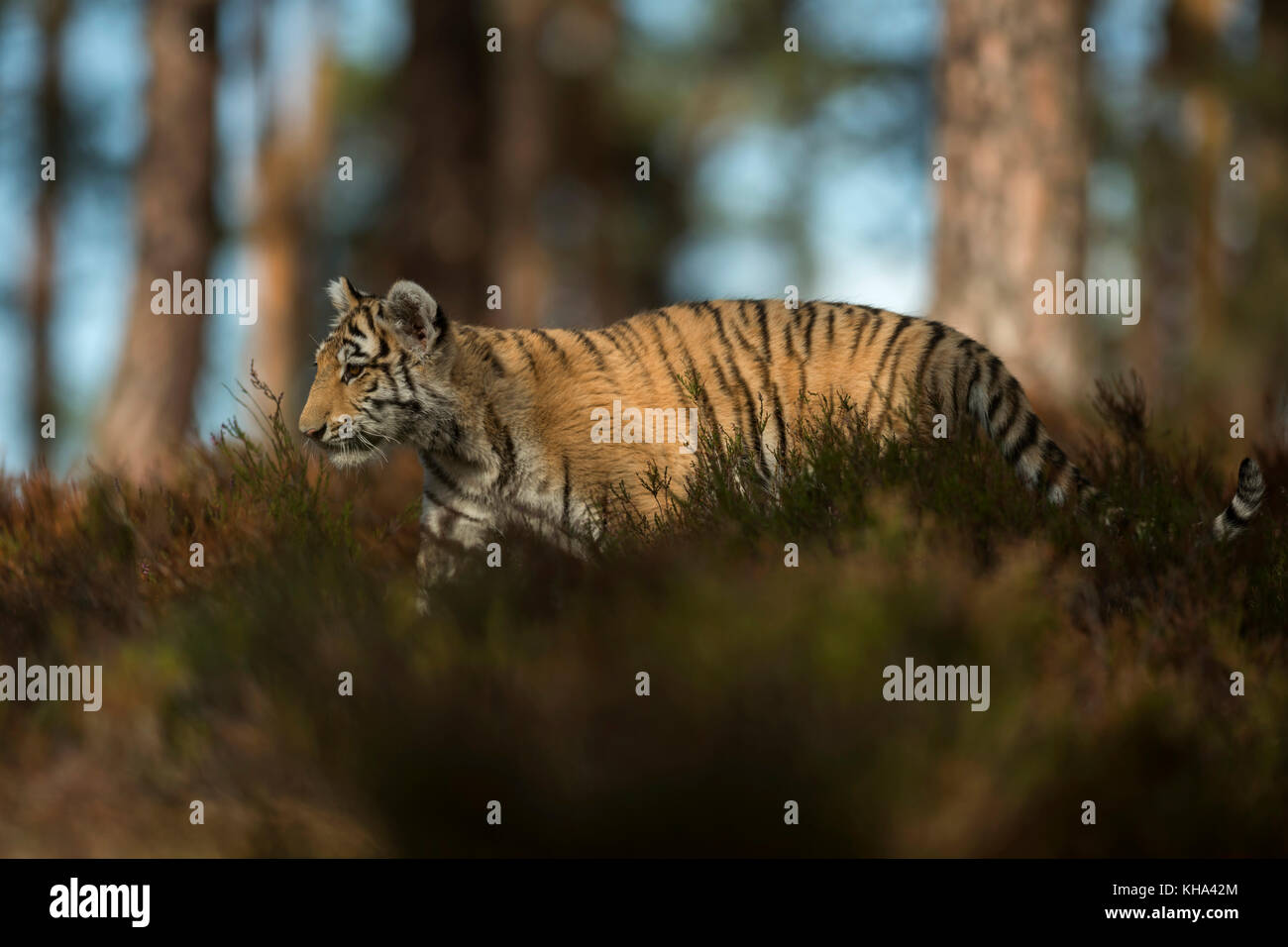 Royal Bengal Tiger ( Panthera tigris ), young animal, adolescent, sneaking, walking through the undergrowth of a - Stock Image