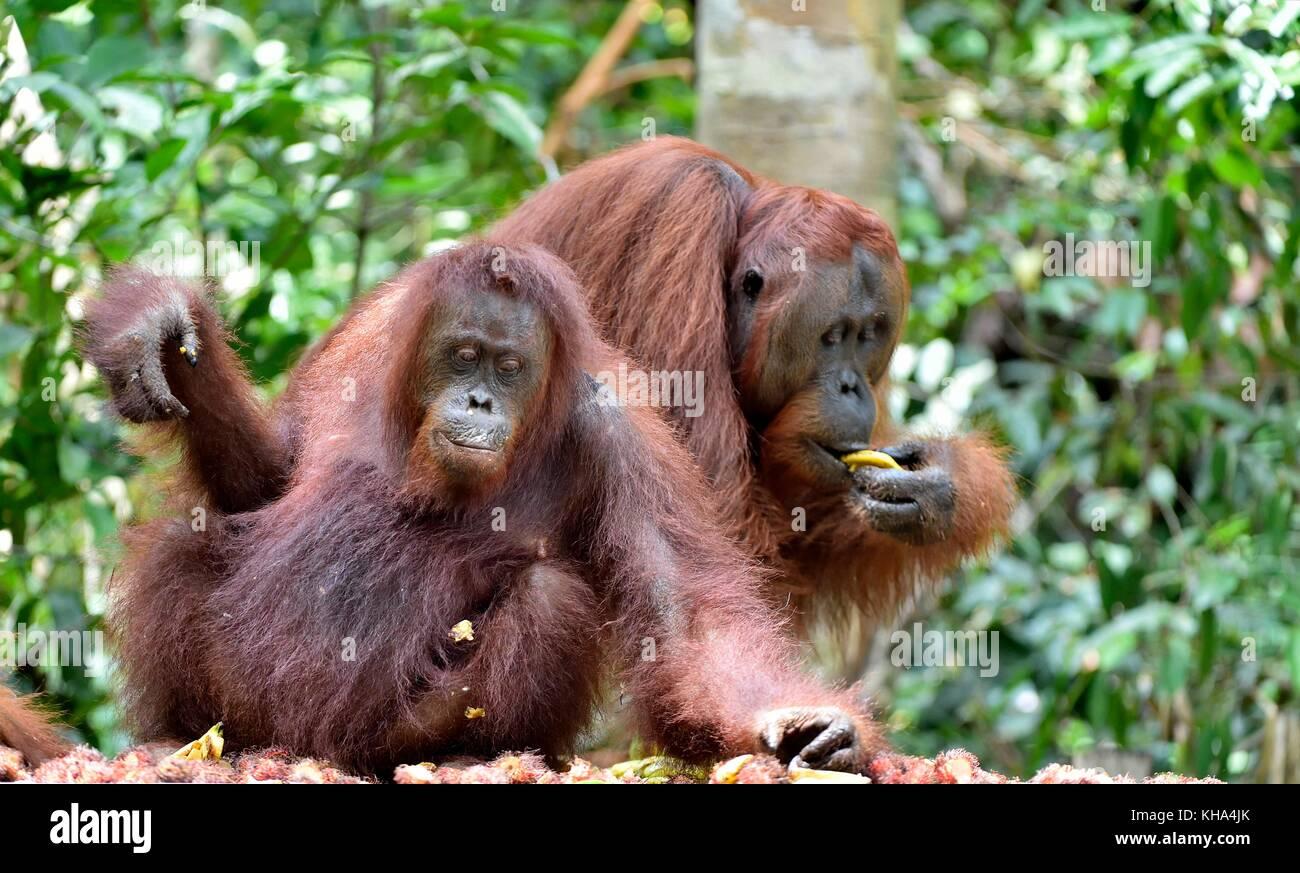 Bornean orangutans (Pongo  pygmaeus wurmbii) in the wild nature. Rainforest of Island Borneo. Indonesia. - Stock Image