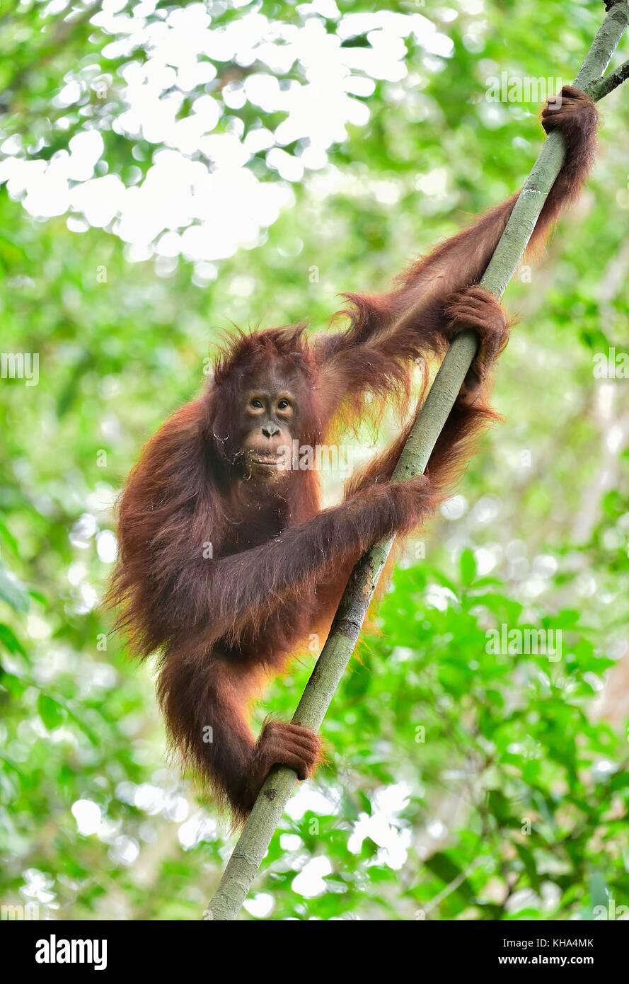 Central Bornean orangutan ( Pongo pygmaeus wurmbii ) on the tree in natural habitat. Wild nature in Tropical Rainforest - Stock Image