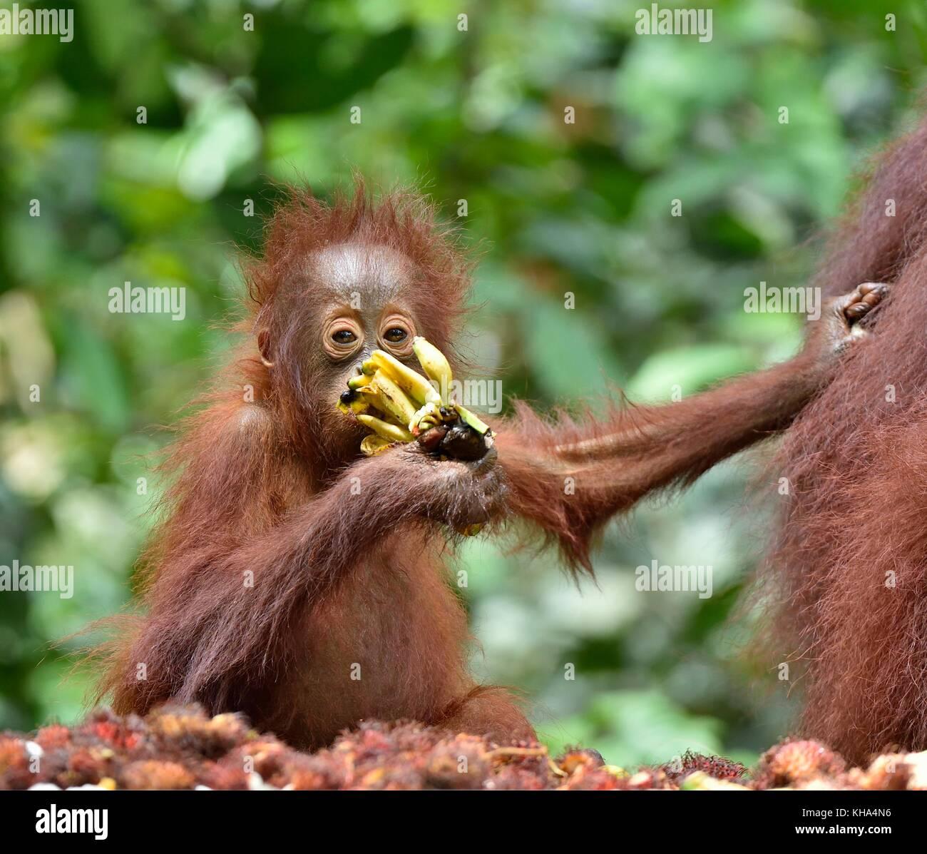 Mother orangutan and cub  eating. In a natural habitat area. Bornean orangutan (Pongo  pygmaeus wurmbii) in the - Stock Image