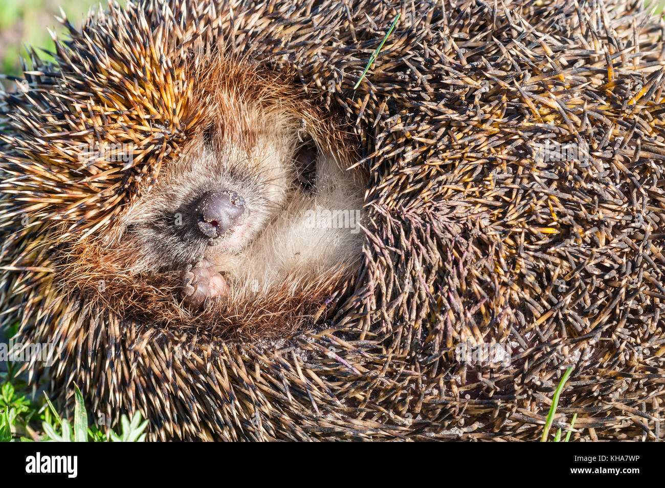 Portrait of cute and pretty hedgehog sleeping in the grass close up - Stock Image