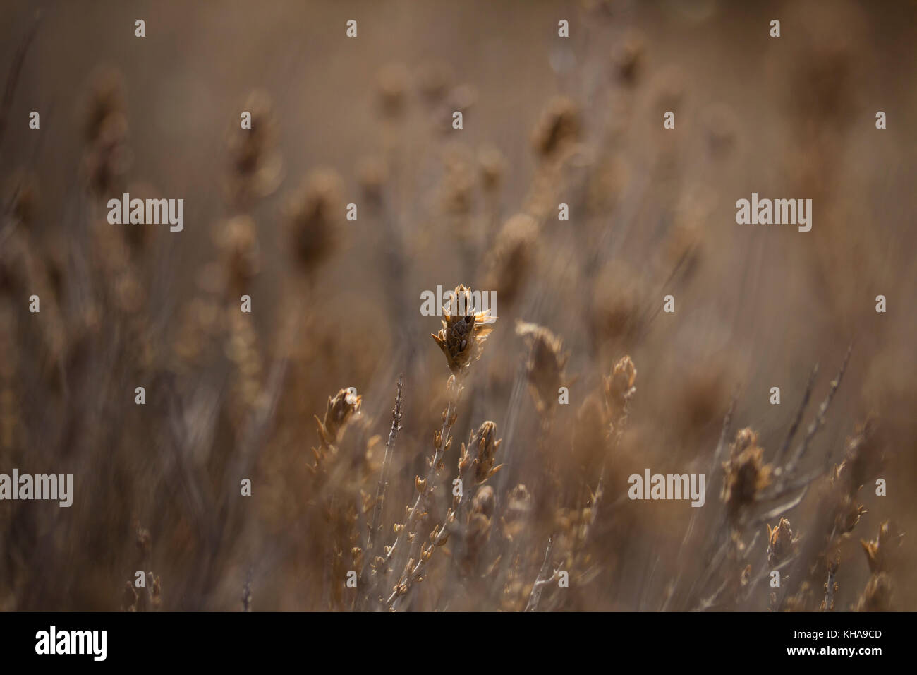Sunbeam on dry wildflowers, earthy colors, brown, beige and gray, autumn, fall natural landscape. - Stock Image