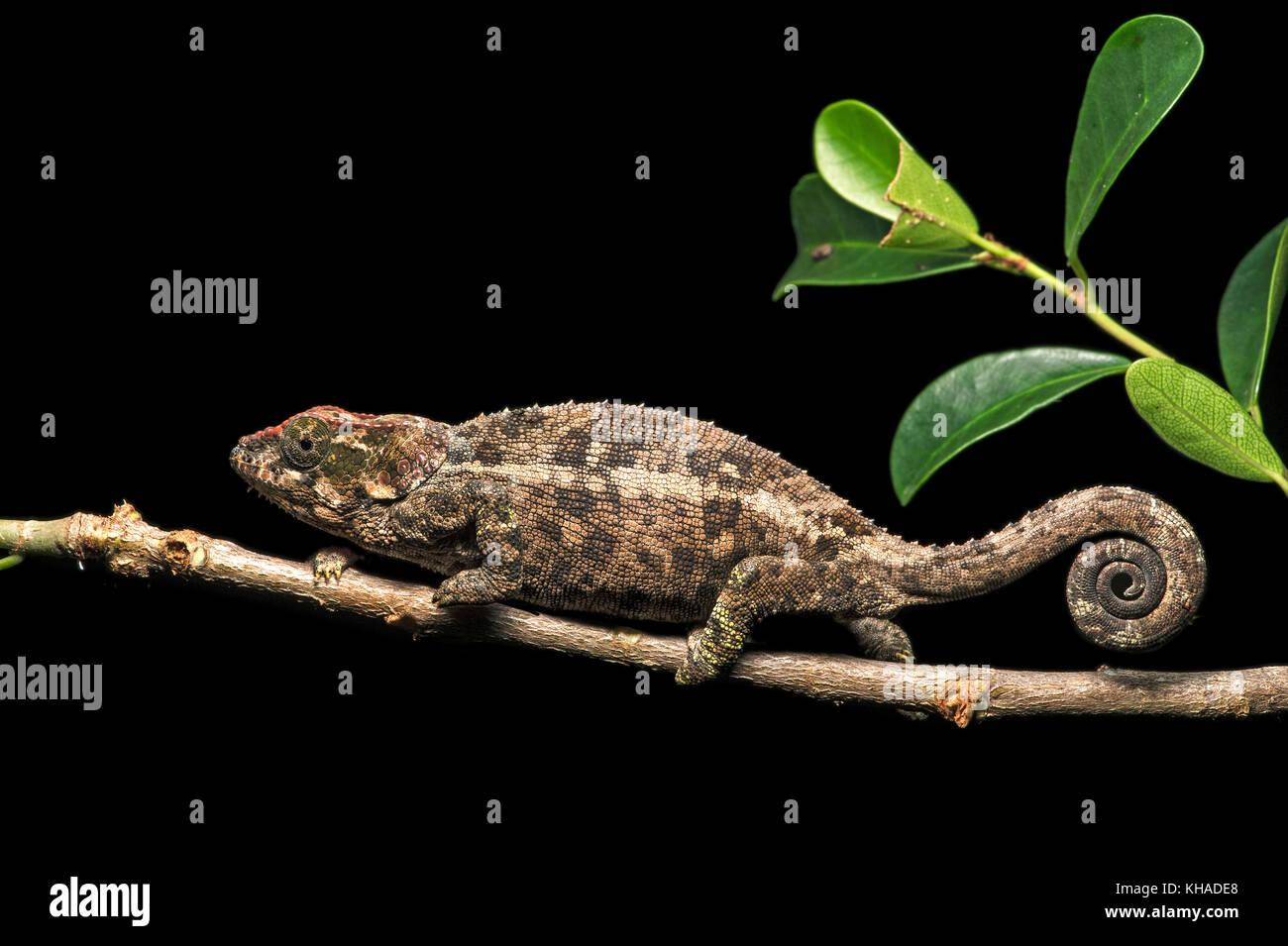 Short-horn chameleon (Calumma crypticum), endemic, Anjozorobe National Park, Madagascar - Stock Image