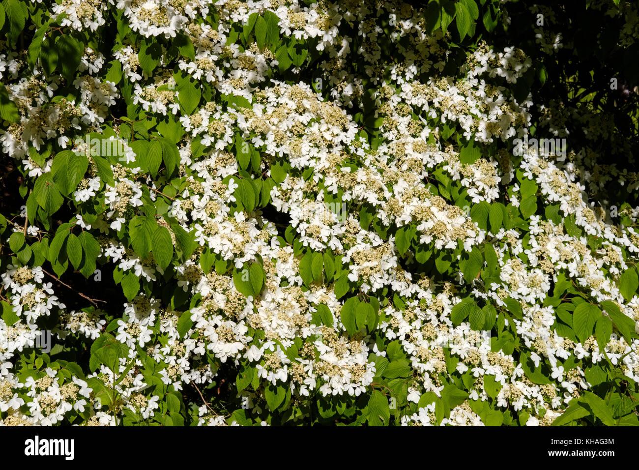 White flowering shrub, Japanese snowball (Viburnum plicatum), England, Great Britain - Stock Image