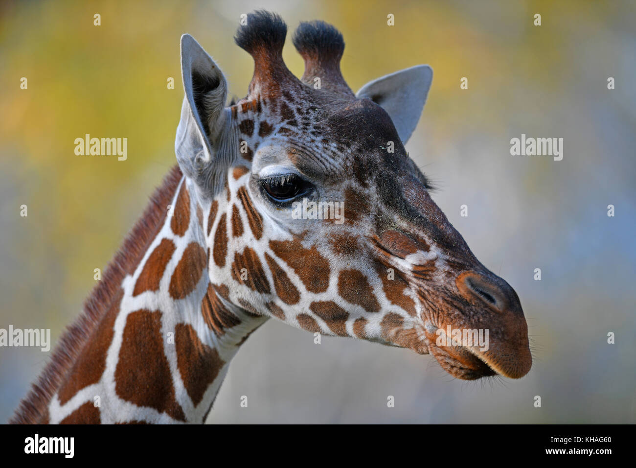Somali giraffe (Giraffa camelopardalis reticulata), portrait, captive - Stock Image