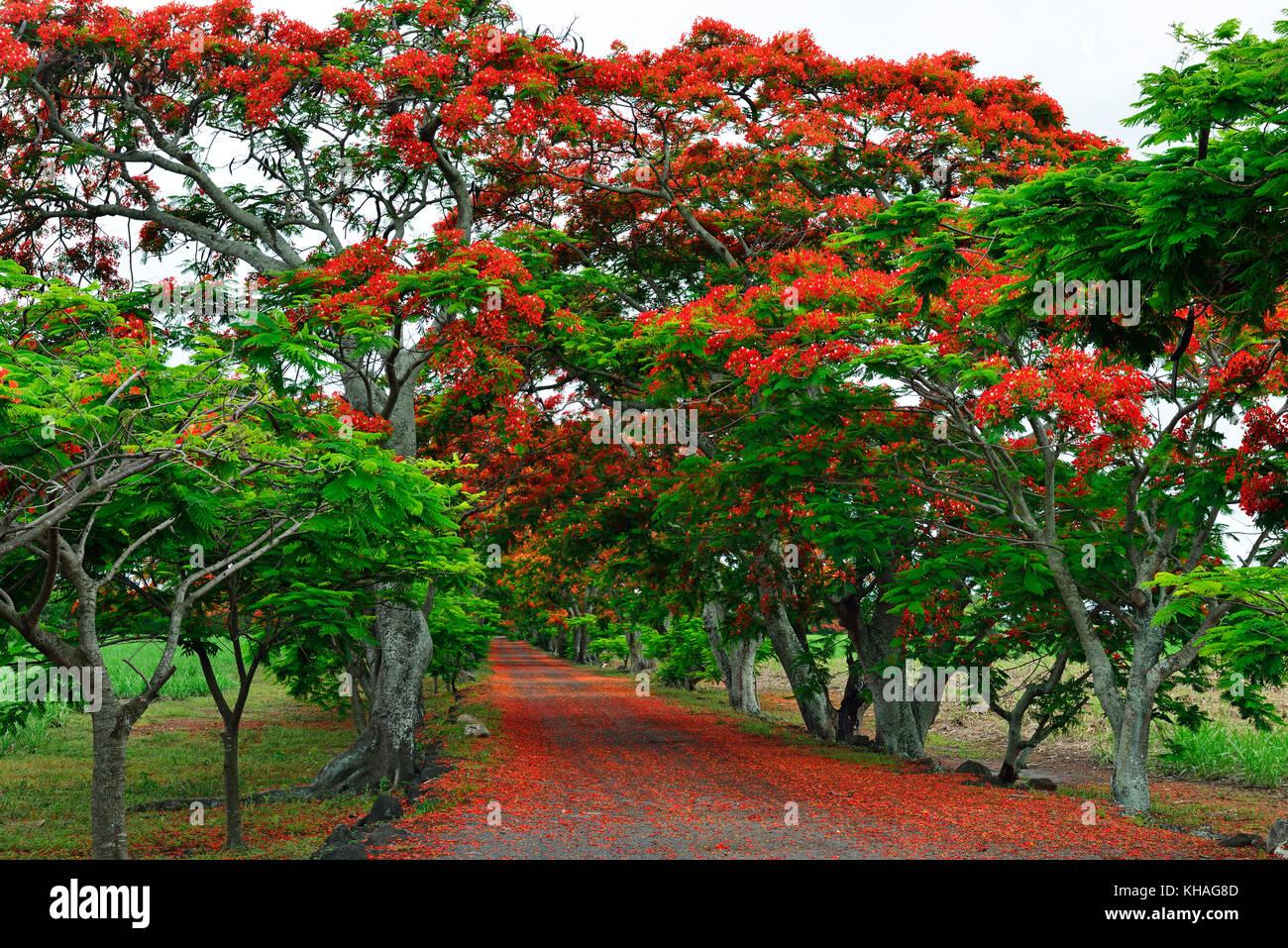 Avenue with Royal Poincianasn, Flamboyant (Delonix regia), Mauritius - Stock Image