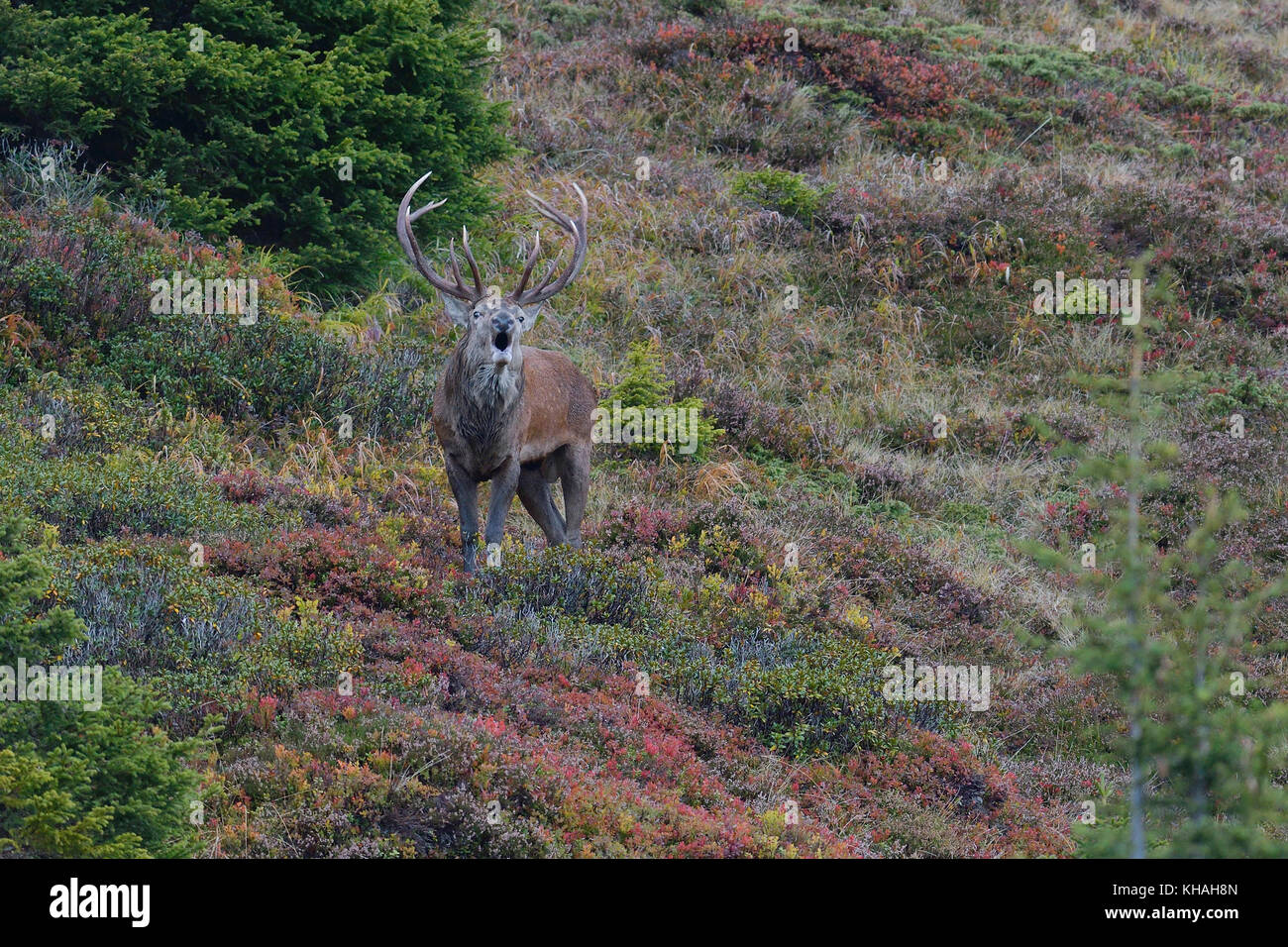 Red deer (Cervus elaphus), roaring stag at rutting on the mountain slope in autumn, Tyrol, Austria Stock Photo