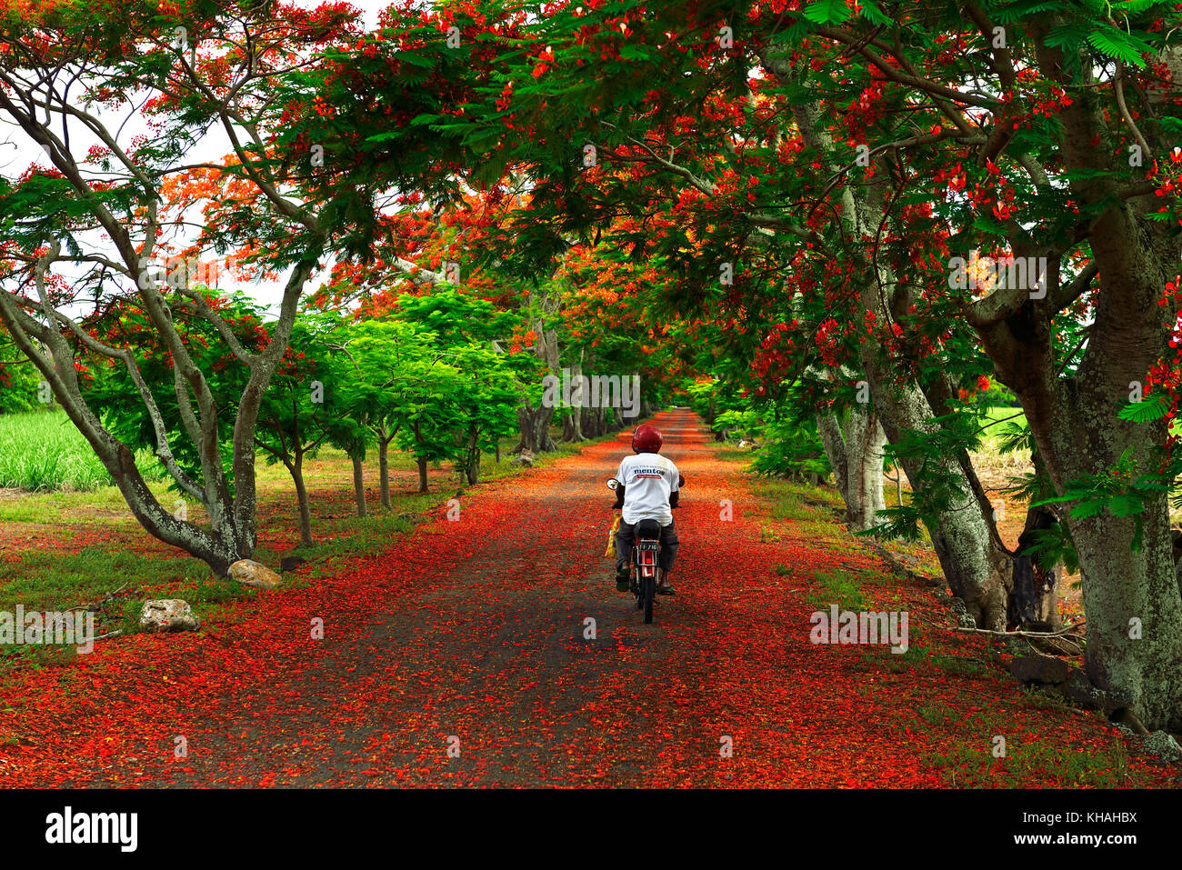 Moped rider on avenue with Royal Poincianasn, Flamboyant (Delonix regia), Mauritius - Stock Image