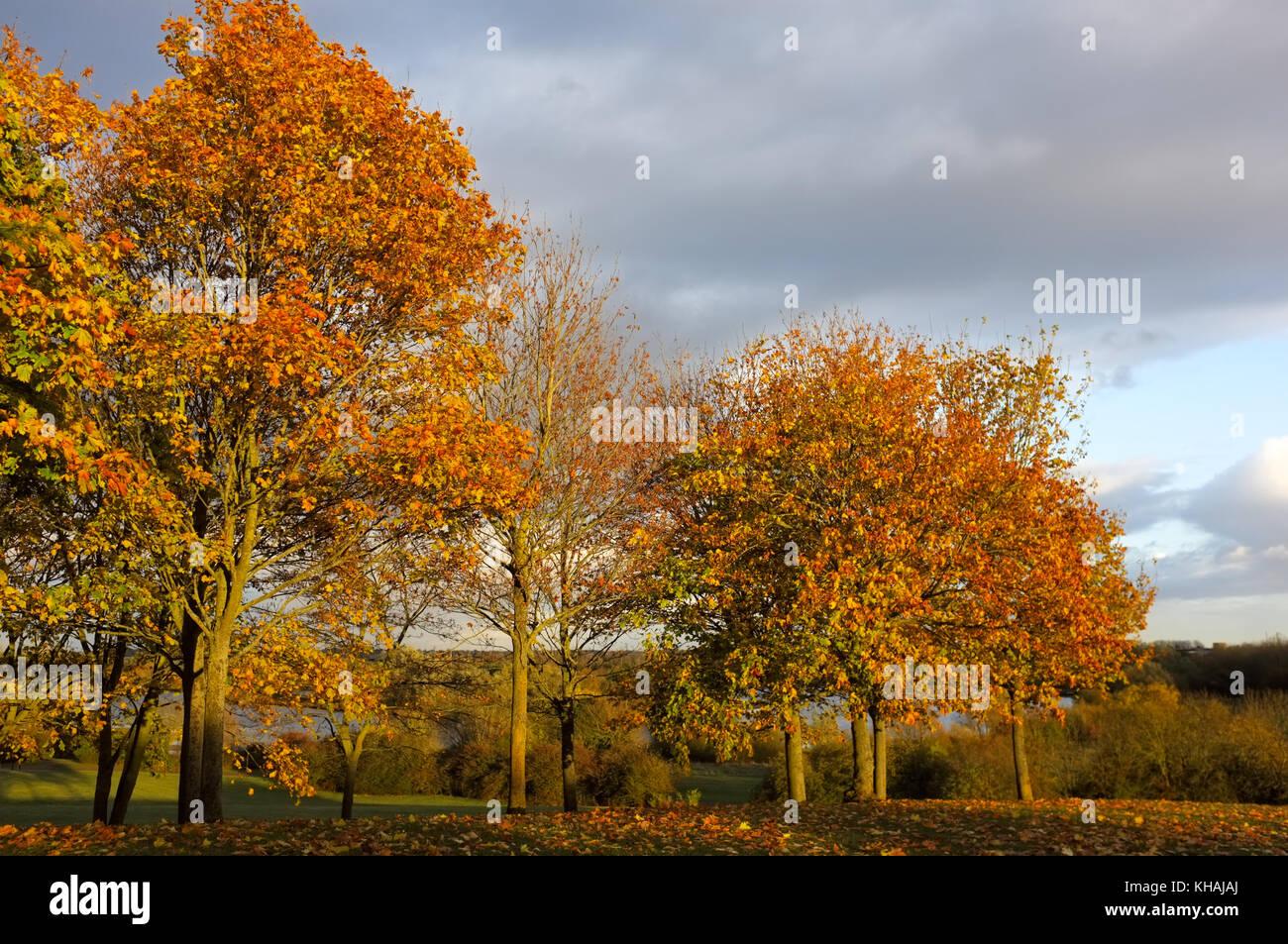 Autumn colours on trees in Willen Park, Milton Keynes, Buckinghamshire, England - Stock Image