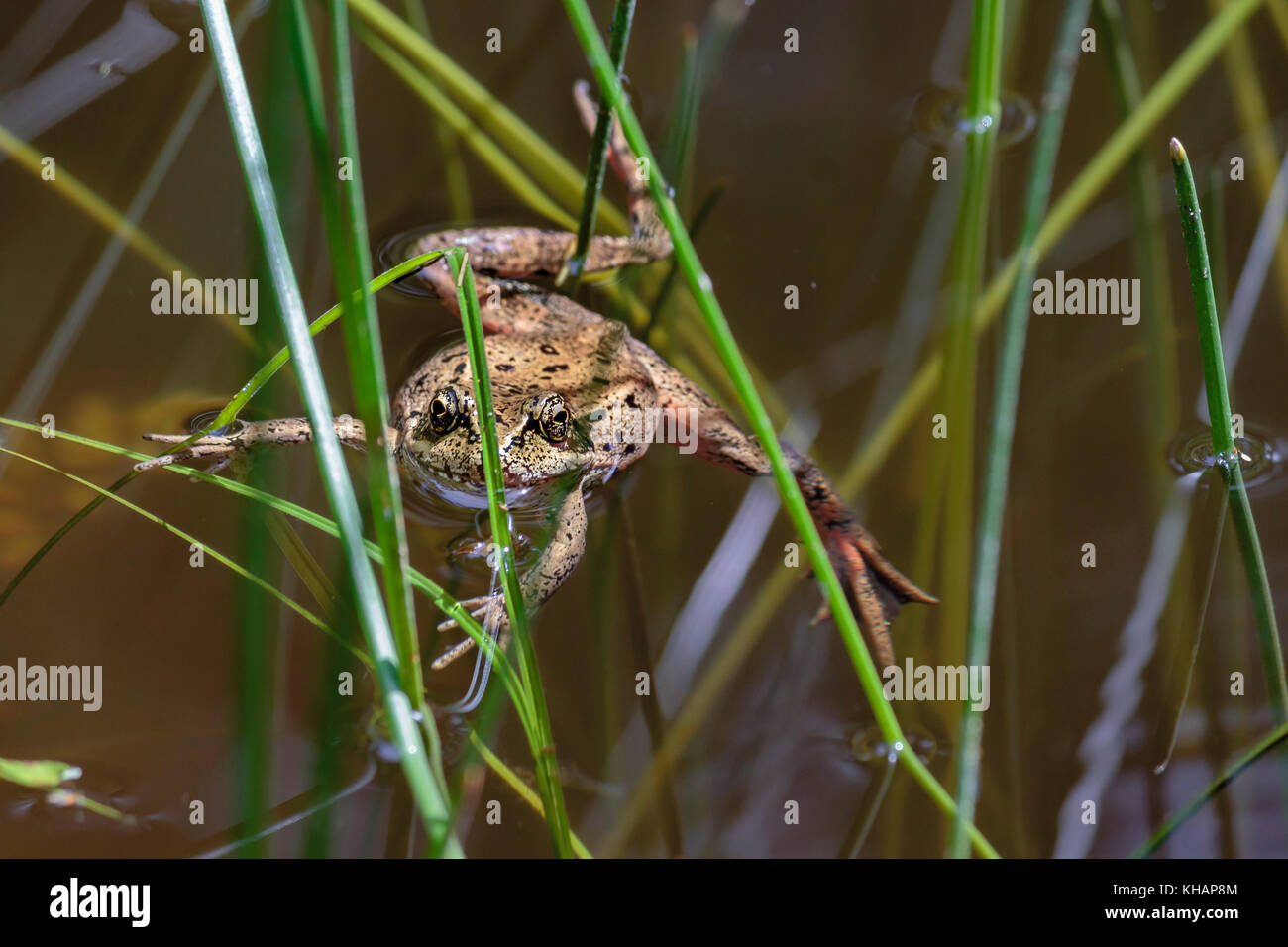 A Northern red-legged frog floats in a pond, staring at the viewer with its long legs and toes sprawled among the - Stock Image