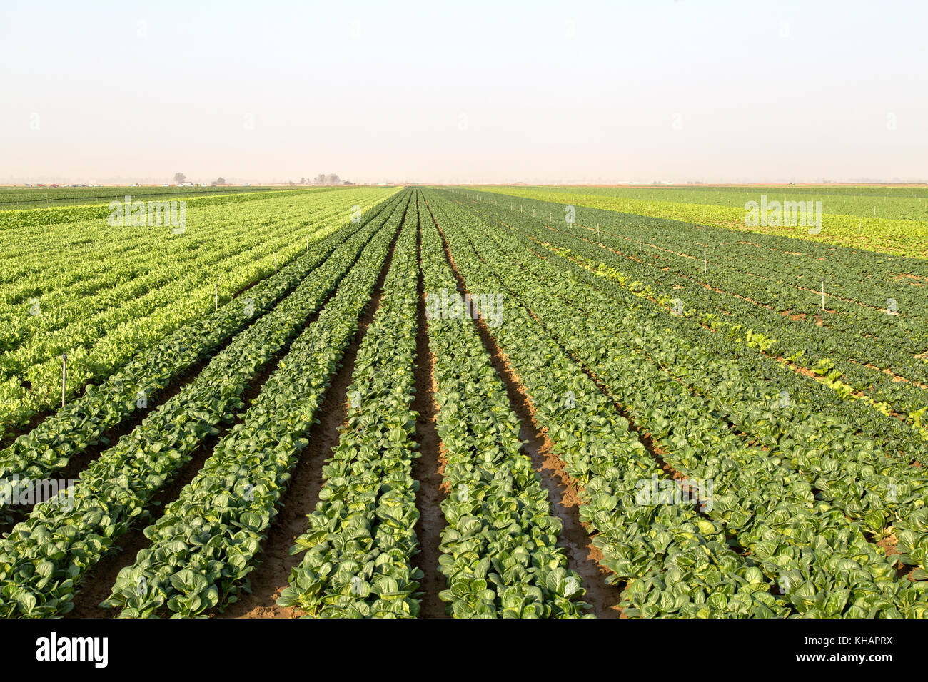 Rows of Baby Bok Choy 'Brassica rapa' var.  chenensis' with Pea 'Pisum sativum'  crop maturing - Stock Image