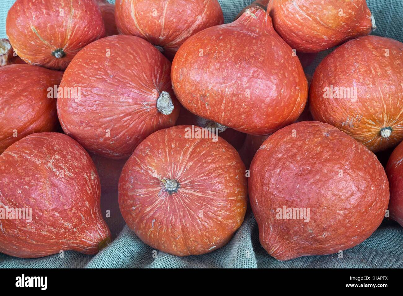 Harvested Red Kuri squash 'Cucurbita maxima'. Stock Photo