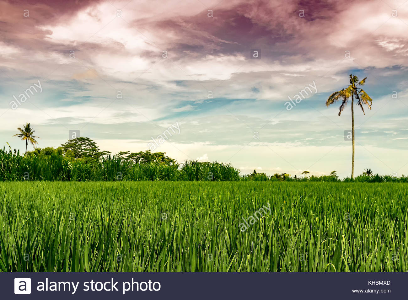 magical rice field with magenta sky in bali indonesia - Stock Image