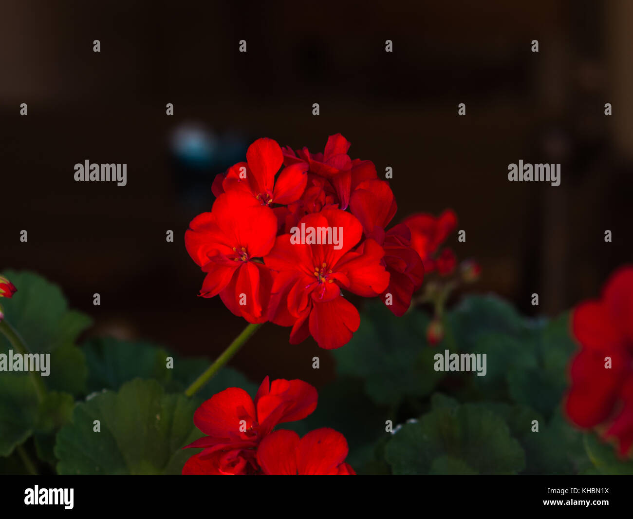 Red flowers on a hot day - Stock Image