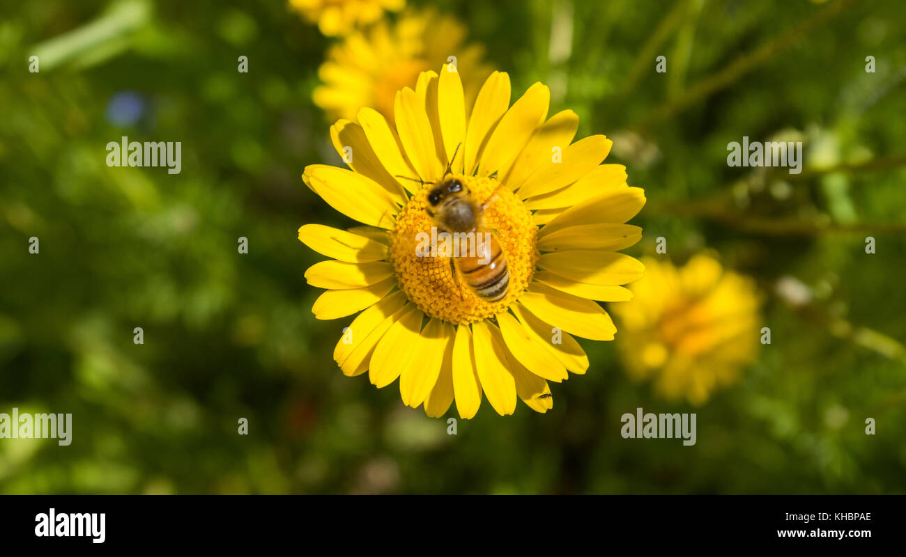 A floralwasp / bee pollinating a yellow daisy in the swedish Summer - Stock Image