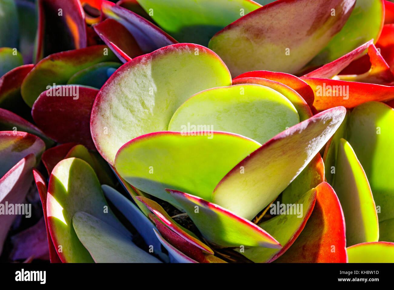 Paddle succulent, Flap jack plant, Kalanchoe - Stock Image