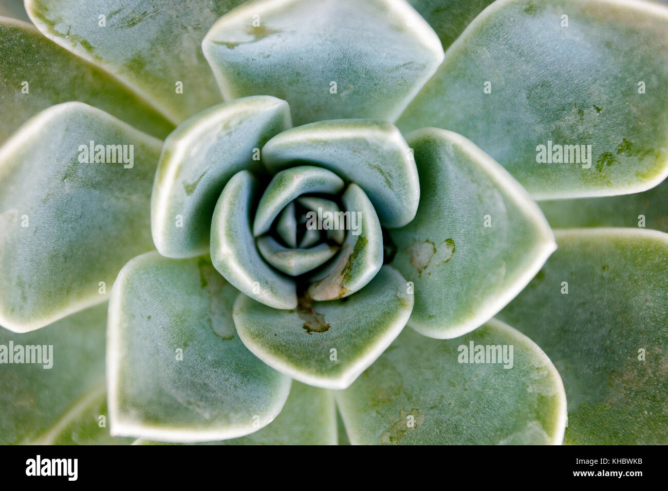 Isolated Desert Rose succcullent - Stock Image