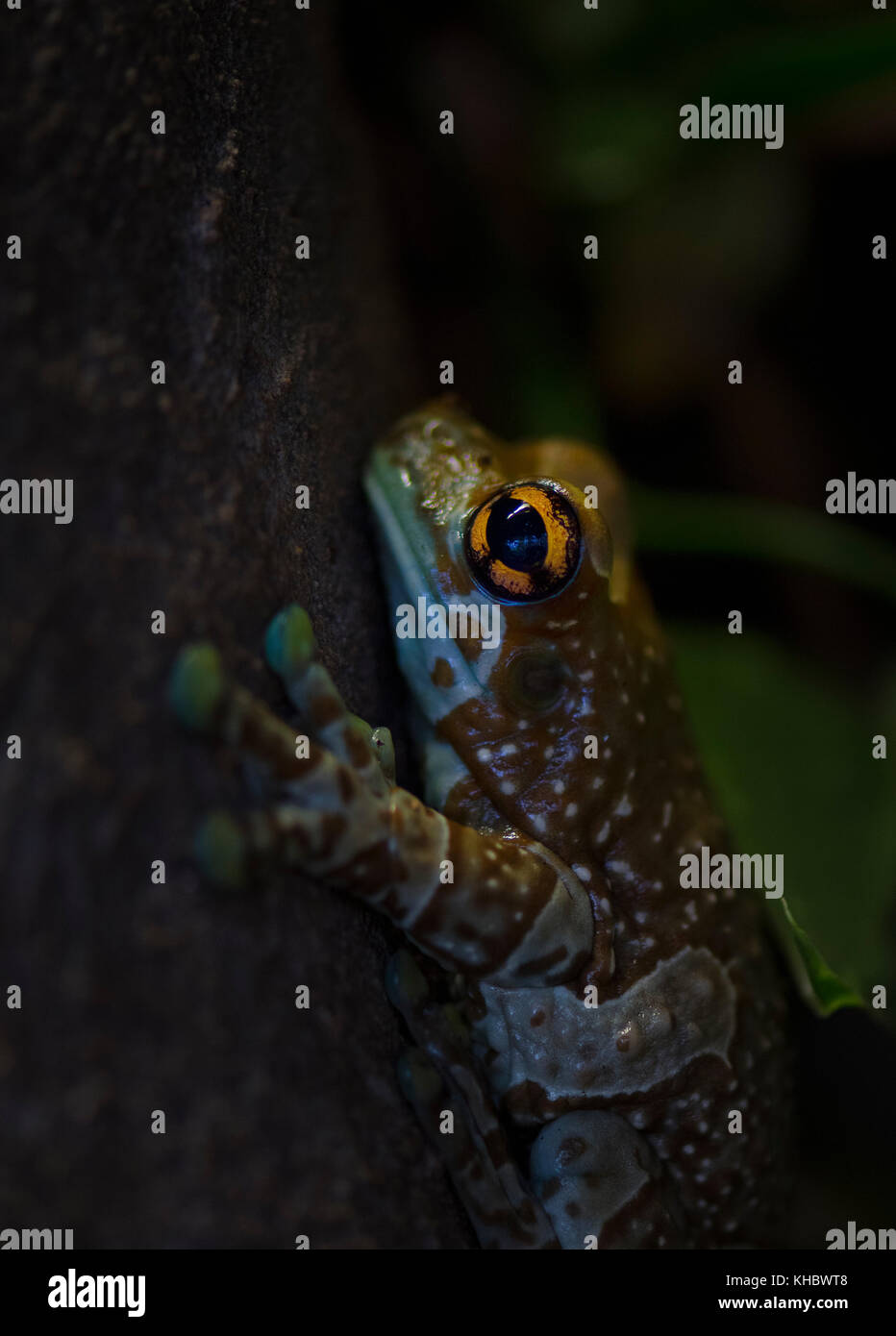 Mission golden-eyed tree frog (Phrynohyas resinifictrix) captive - Stock Image