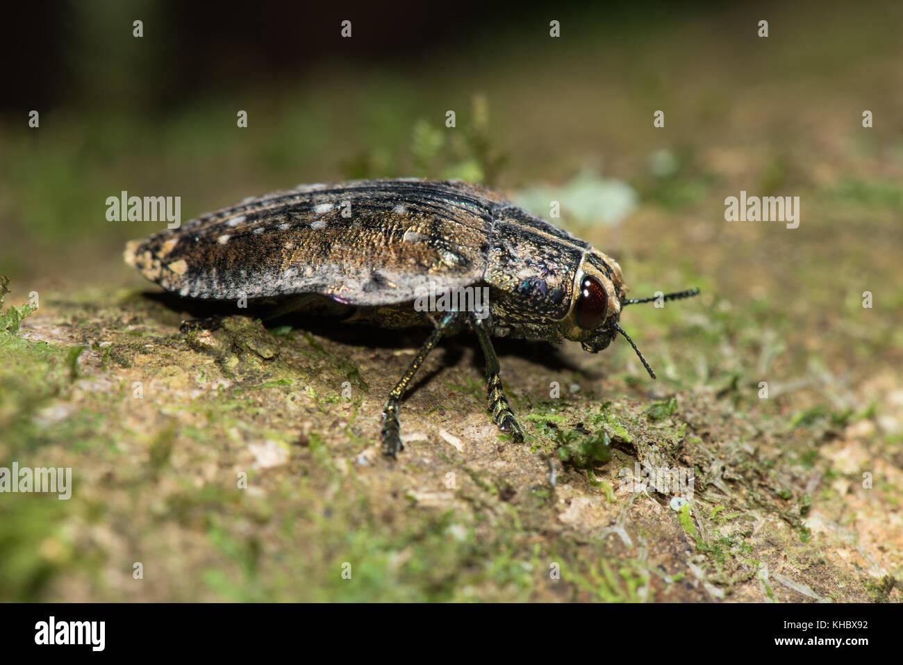 Madagascan Beetle Nature Stock Photos & Madagascan Beetle