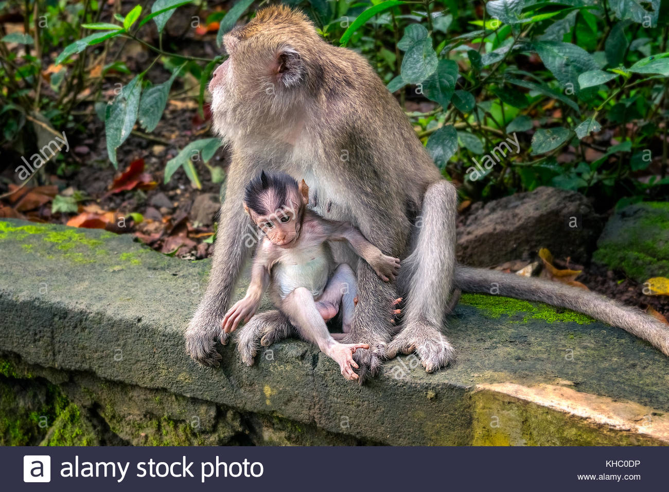mother and baby monkey family in bali. indonesia - Stock Image