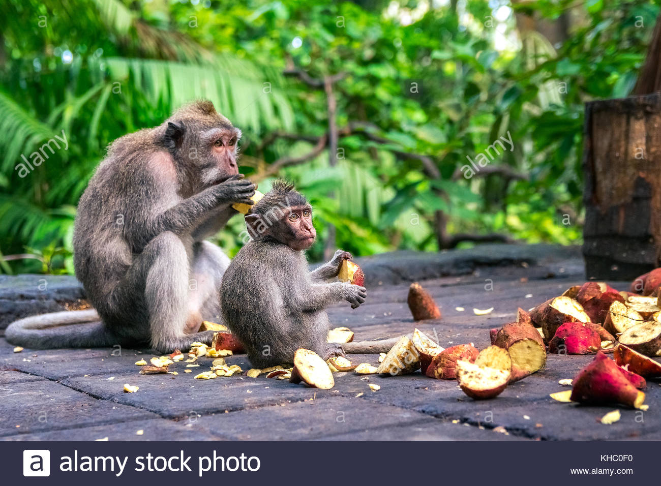 family of monkeys eating fruit in bali. indonesia - Stock Image