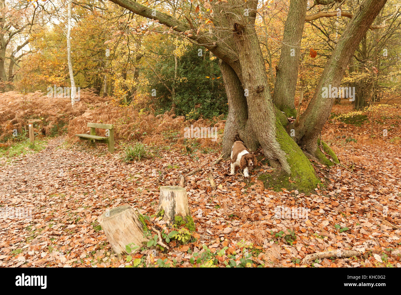 A cute English Springer Spaniel Dog (Canis lupus familiaris) enjoying a walk in Bencroft Woods in Autumn in Hertfordshire, - Stock Image