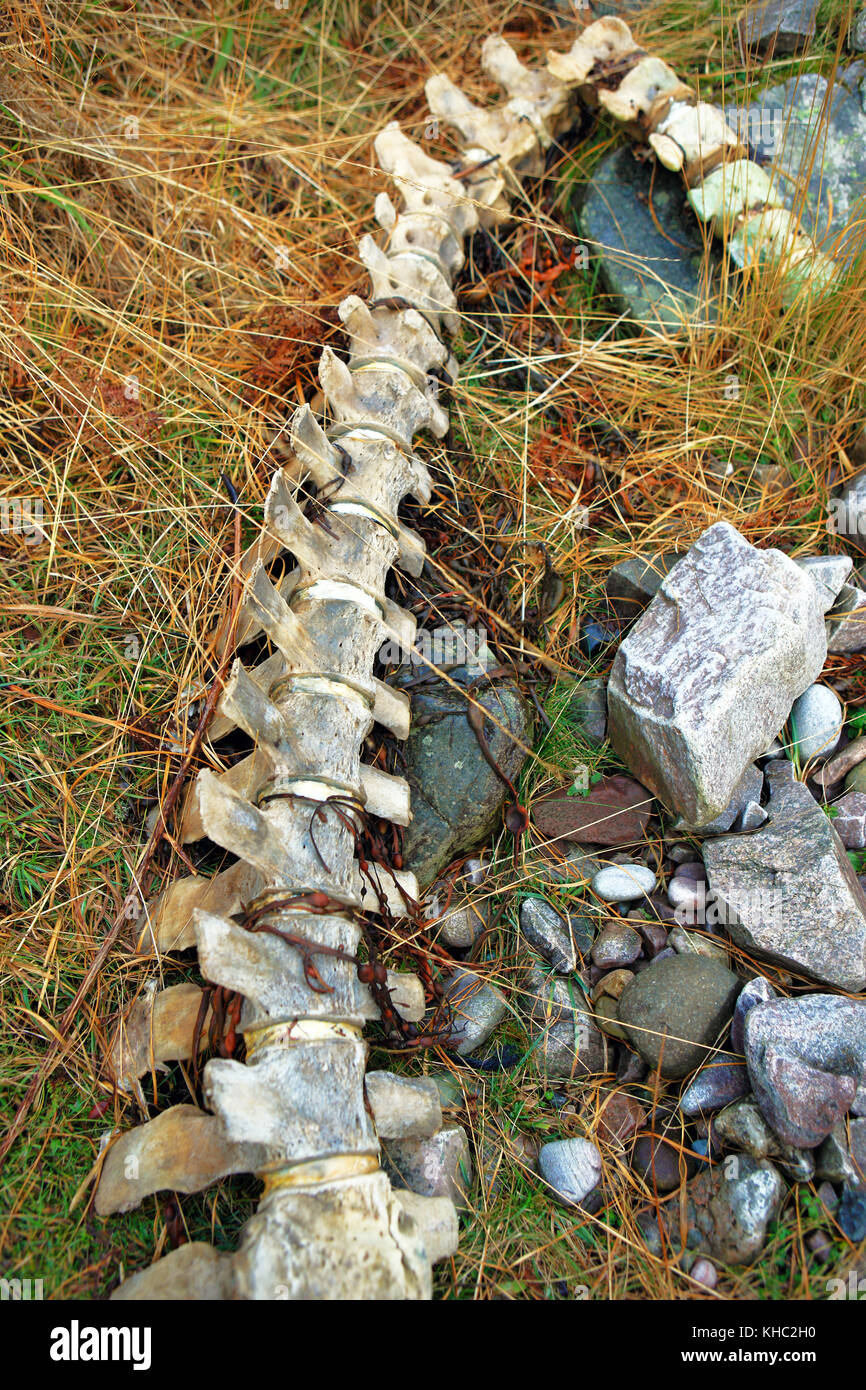Whale vertebrae on the Isle of Mull, Scotland - Stock Image