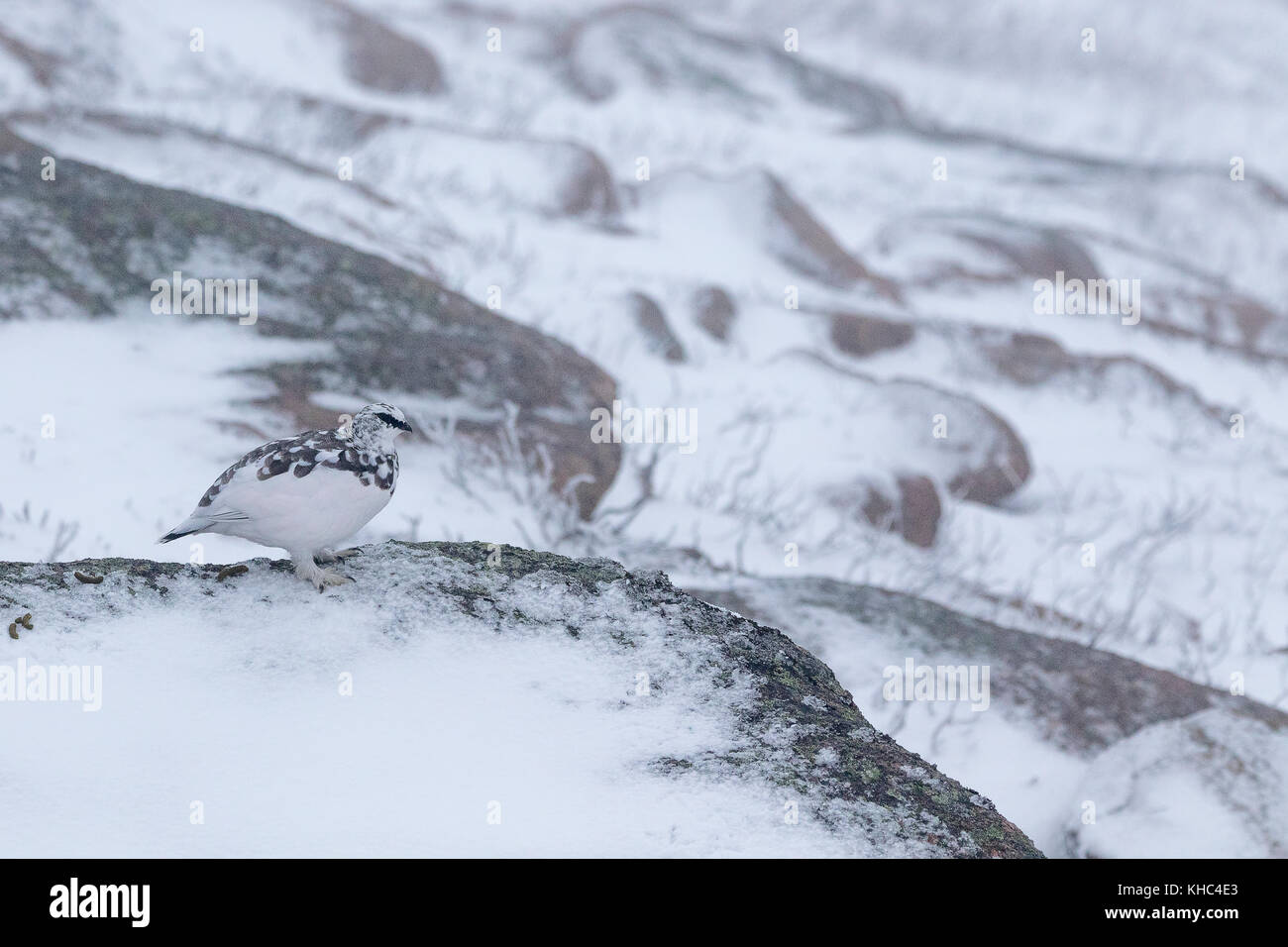 ptarmigan (rock, Lagopus muta) on a Scottish mountain in the cairngorm national park during winter, summer and autumn. Stock Photo