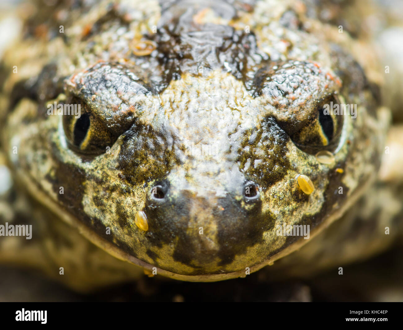Angry Frog Reptile Portrait - Stock Image