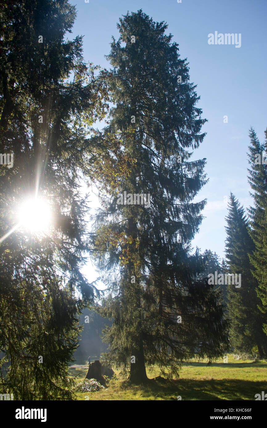 picea abies in morning light *** Local Caption *** switzerland, jura, picea abies, norway spruce, tree, meadow, - Stock Image