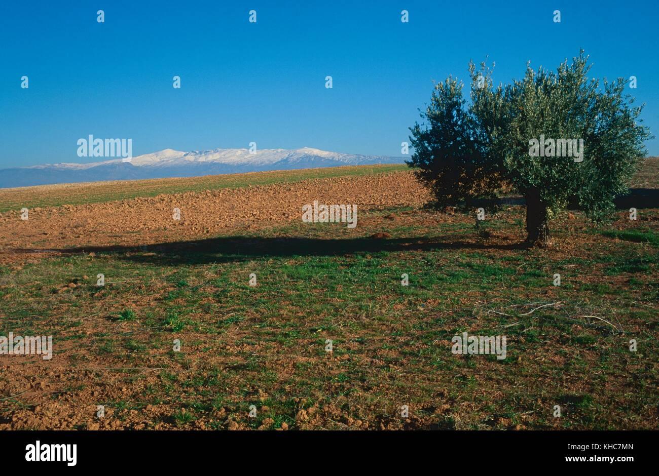 Fields, Olive, tree, Sierra Nevada, mountain, mountain range, snow, Escuzar, Province Granada, Andalusia, Spain - Stock Image